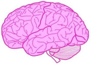 脳_終脳(= 左右の大脳半球)
