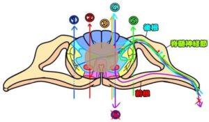 頸髄中心損傷型